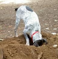 Diggingdog